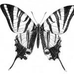 b-w-butterfly